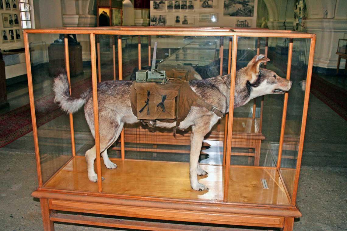 """""""Pies przeciwpancerny"""" upamiętniony na wystawie Centralnego Muzeum Artylerii i Wojsk Saperskich wSt. Petersburgu; widoczna jest konfiguracja ładunku przeciwpancernego na psim grzbiecie."""